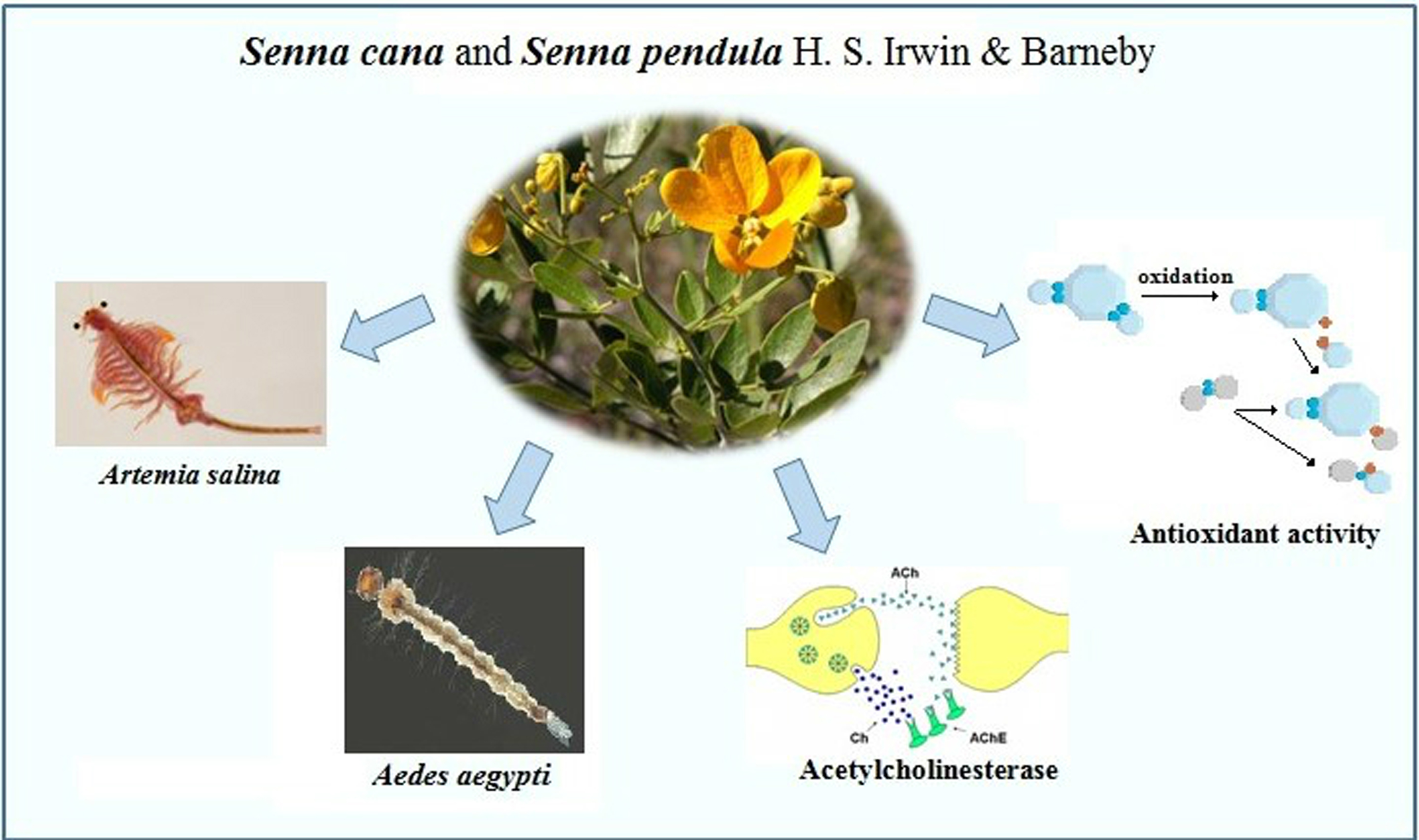 Bioactivity and Toxicity of Senna cana and Senna pendula